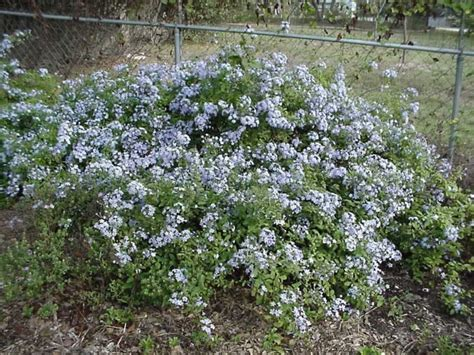 PLANTanswers: Plant Answers > PLUMBAGO * A LOVELY BLUE