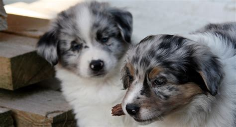 Miniature Australian Shepherd Puppies and Dogs for sale