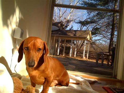 What Is A Miniature Dachshund Breed? Small But Not To Be