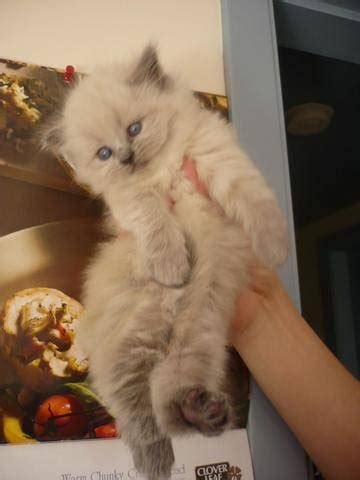 Doll face Persian Kittens For Sale FOR SALE ADOPTION from