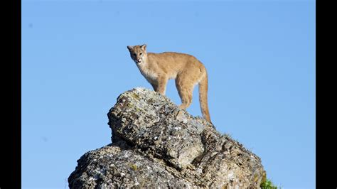 Mountain lion kills one man, injures another east of