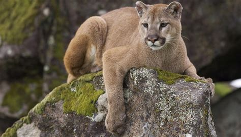 Mom Saves 5-Year-Old Boy From Mountain Lion In Terrifying