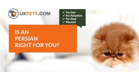 Persian Cats and Kittens For Sale in the UK