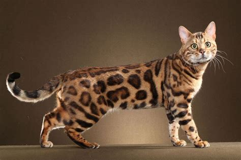 Bengal Cat Kittens For Sale In India - Cat's Blog